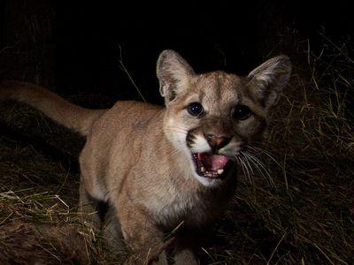 A mountain lion kitten in Malibu Creek State Park.