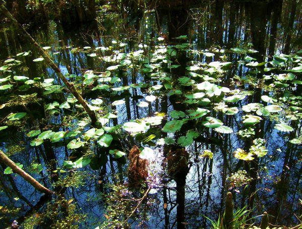 Lilly Pad Swamp thumbnail