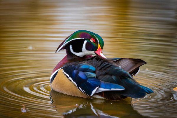 Preening Duck thumbnail