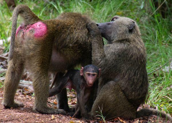 Baboon Family thumbnail