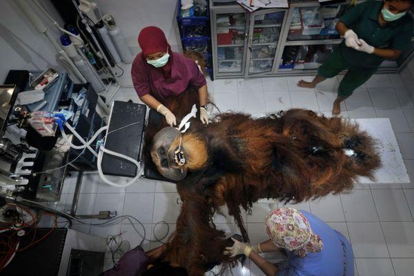 Saving Orangutans 8 thumbnail