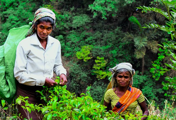 Hard work with smiel at tea plantation  thumbnail