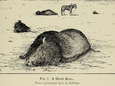 """After L. A. Huffman, """"A Dead Bull"""" from William T. Hornaday, """"The Extermination of the American Bison, with a Sketch of Its Discovery and Life History,"""""""