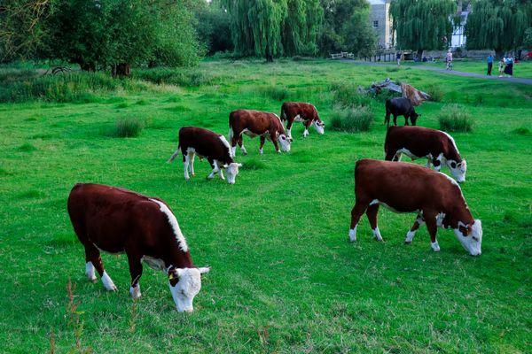 Cambridge cows thumbnail