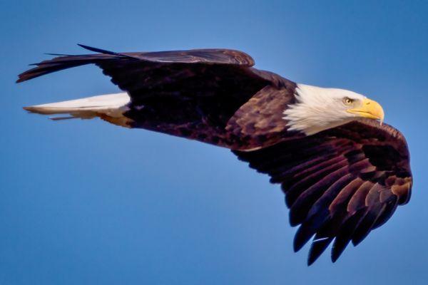 Hunting Eagle thumbnail