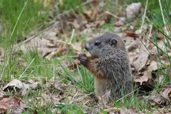 Young Woodchuck Eating Grass thumbnail