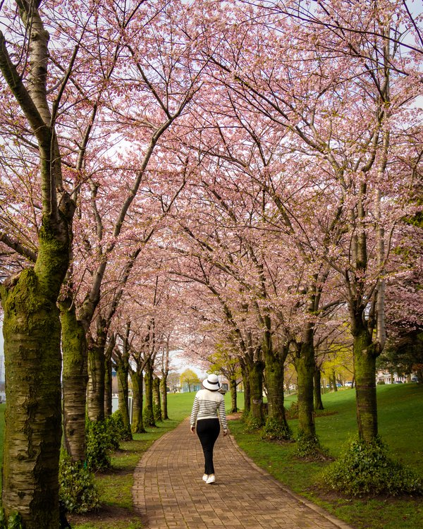 Cherry blossom in the park thumbnail
