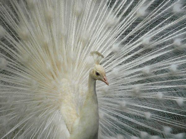 White peacock thumbnail