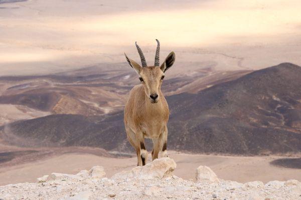 Ibex Ramon Crater thumbnail