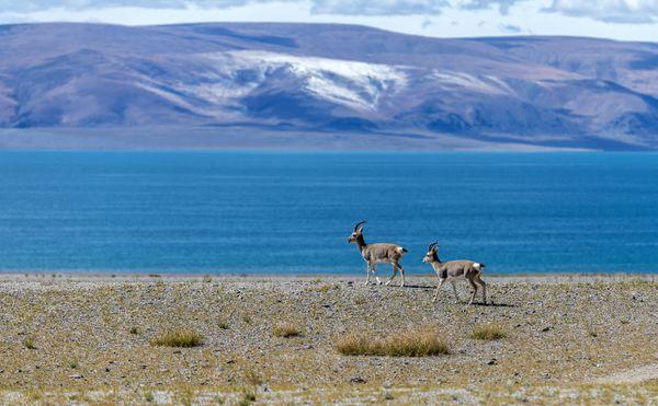 Tibetan Pseudois nayaur thumbnail