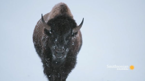 Preview thumbnail for Yellowstone Bison Are Built for Winter Survival