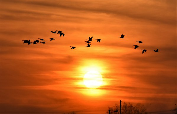 Bean geese flying over the setting sun in South Korea. thumbnail