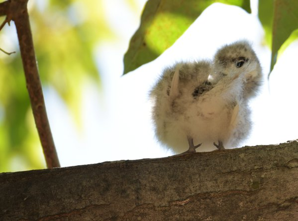 Manu O Kū chick waiting for lunch thumbnail