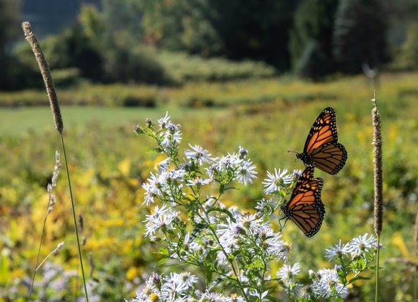 Monarch butterfly pair in Lyme, New Hampshire field. thumbnail