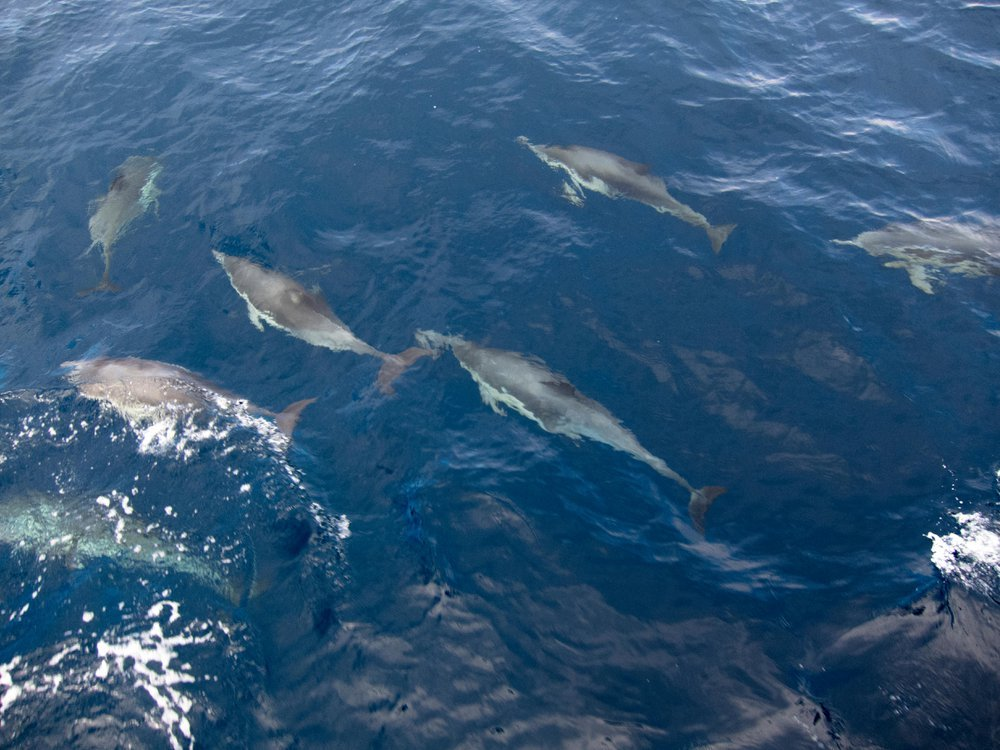 A pod of dolphins swim along a boat in the Channel Islands National Park, California.