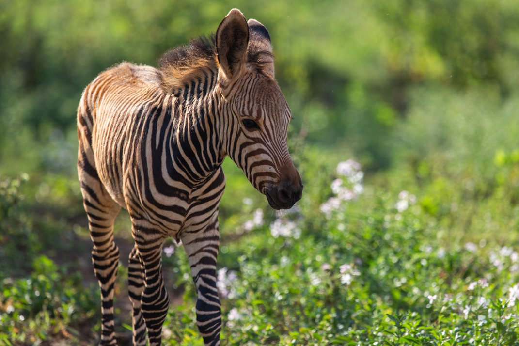 A young Hartmann's mountain zebra colt stands in a grassy pasture at the Smithsonian Conservation Biology Institute. It has striped skin, big ears and a coarse mane.