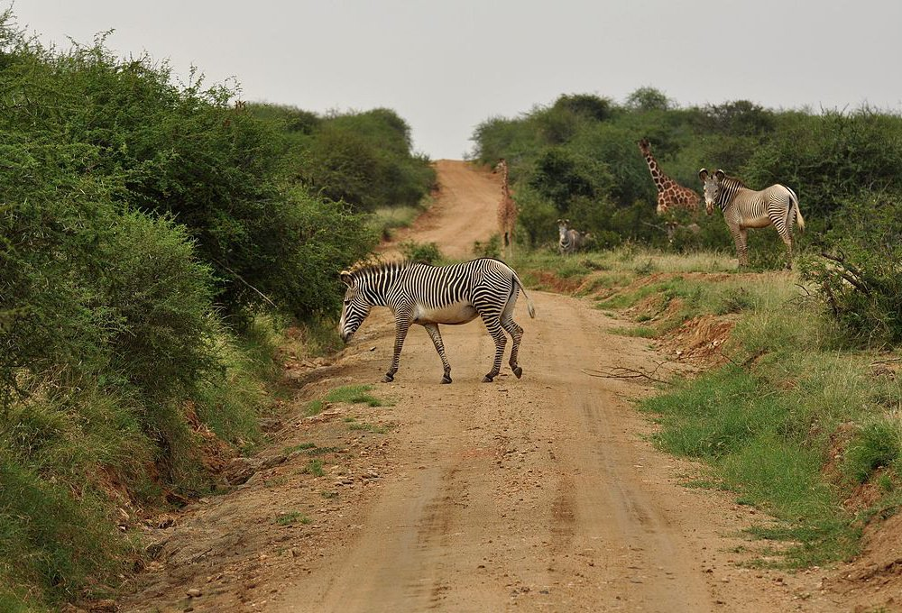 Zebra crossing a dirt road near Mpala Research Centre, Kenya