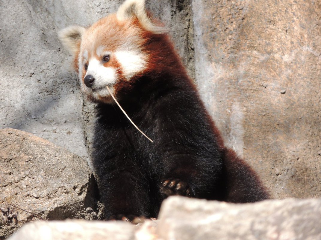 A red panda chewing on a small piece of bamboo.