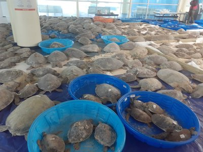 By Monday evening, nearly 2,000 cold-stunned turtles were rescued from the Lower Laguna Madre Lagoon along the Texas Coast, where endangered green sea turtles call home.