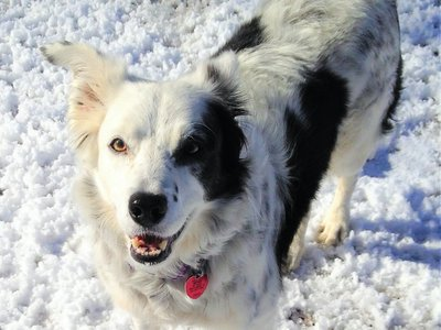 Border collie Chaser had the largest tested word memory of any animal (other than a human).
