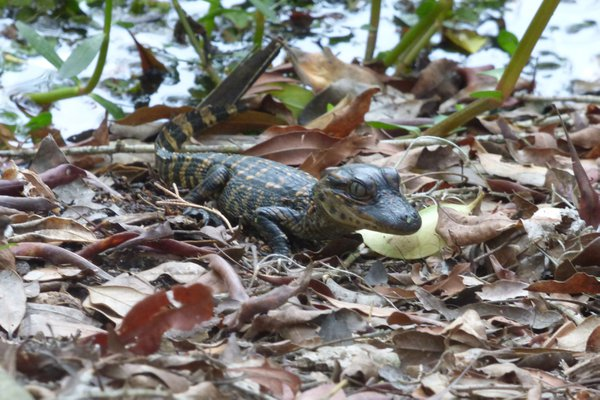 Juvenile alligator at Avery Island thumbnail