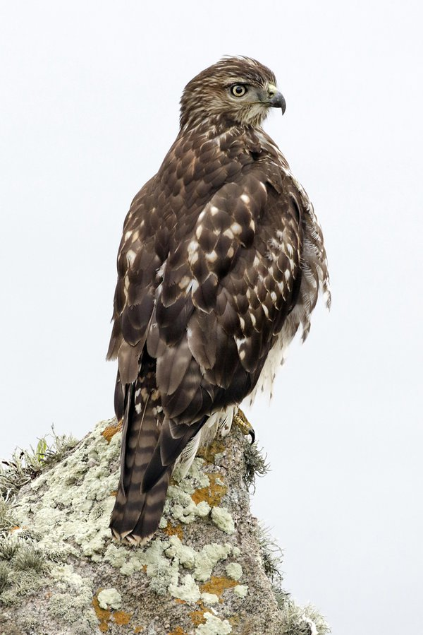 Red Tail Hawk, Pt. Reyes, CA thumbnail