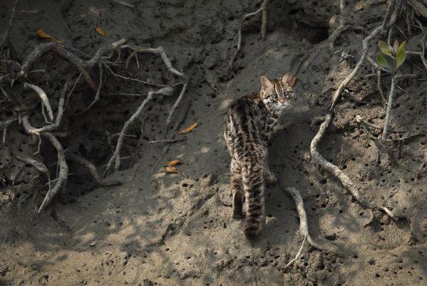 heterochromic leopard cat thumbnail