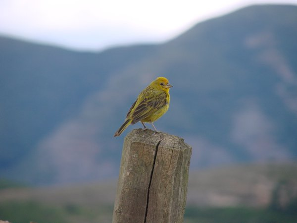 Stripe-tailed Yellow-Finch in the valley thumbnail