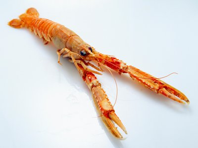 Researchers have discovered an unexpected way that larger bits of plastic are transformed into microplastics in the sea: lobsters. (The study involved Norway lobsters, pictured here.)