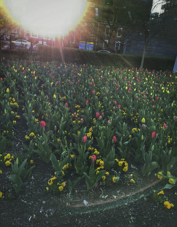 The Sun & Tulip Garden thumbnail