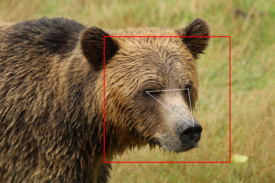 An image of a grizzly bear's face with a red square around its head and white triangle drawn between its eyes and nose