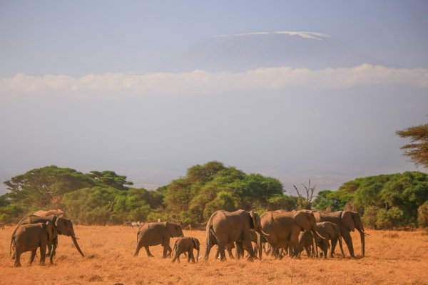 Elephant herd in Amboseli National Park thumbnail
