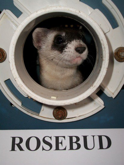 Meet Rosebud, the Zoo's Black-Footed Ferret