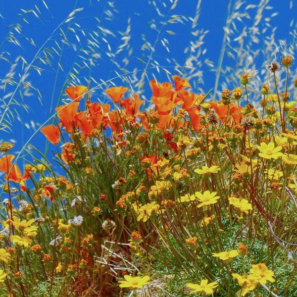 Poppy Reserve thumbnail