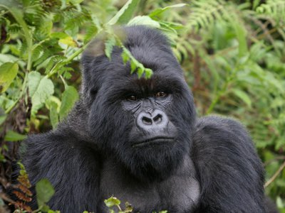 Previous research has shown that a gorilla's larger body size is linked to reproductive success and social rank. The chest-beating could be another way for the gorillas to convey their size to others and, in turn, avoid fights that could result in serious injury or death.