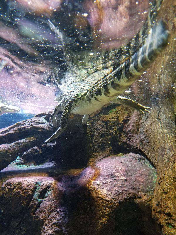 A Sesame Crocodile in the Odysea Aquarium thumbnail