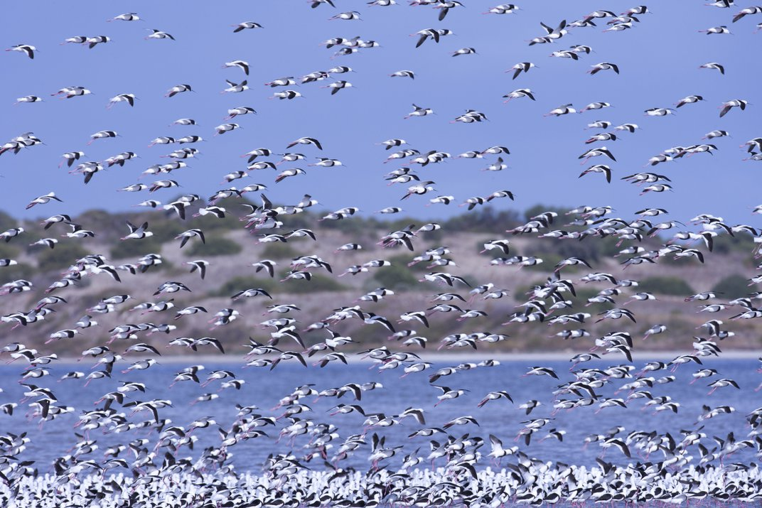A flock of banded stilts in Coorong National Park, Australia. Photo: Oliver Strewe/Corbis