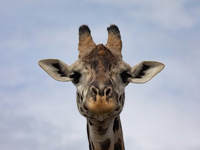 Previously, researchers believed giraffes' spots grew darker with age