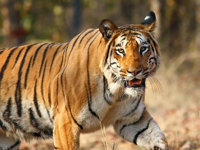 A tiger similar to the one pictured here trekked more than 800 miles over the course of five months.