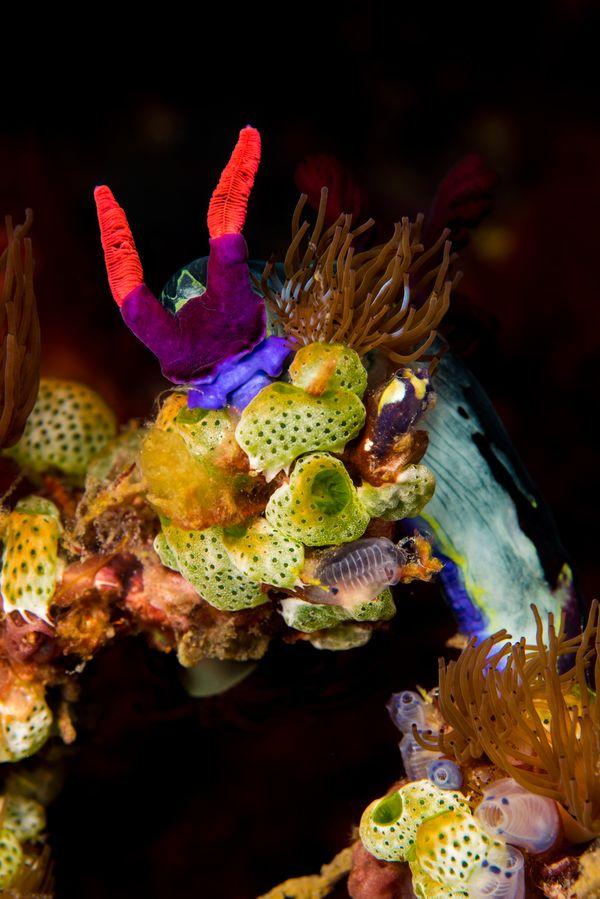 nudibranch thumbnail
