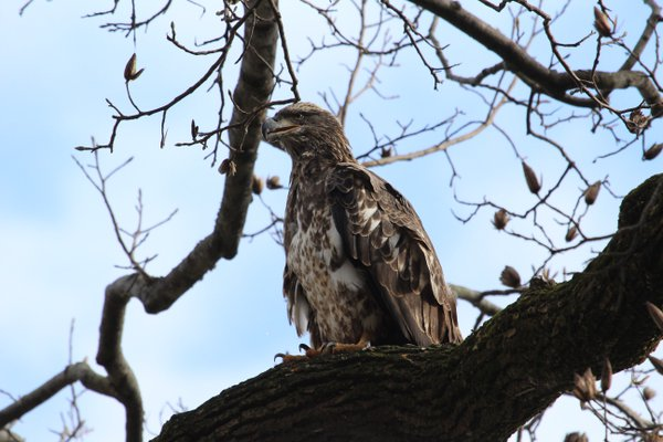 A juvenile bald eagle. thumbnail