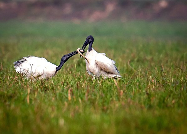 Ibis fighting for its prey thumbnail