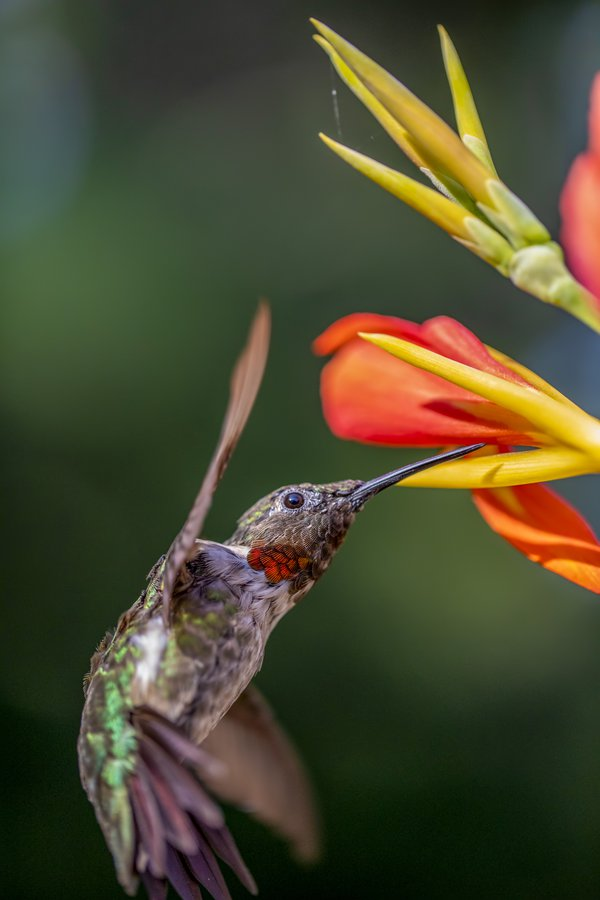 Hungry Male Ruby Throated Hummingbird thumbnail