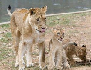 20110520110653ATM-Blog-Lion-Cubs-Winter-1-300x232.jpg