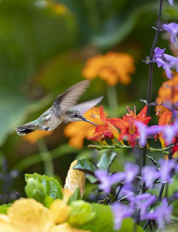 Female Ruby Throat Hummingbird thumbnail