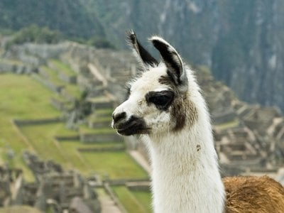 Llama antibodies are smaller than human ones, making them ideal for latching onto hard-to-reach areas of flu virus strains