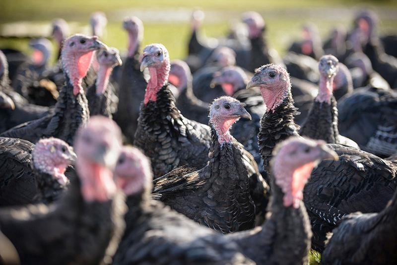 Turkey farm.jpg