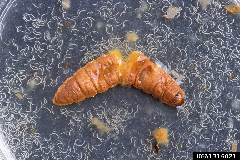 Meet the Supervillain Worm That Gets By With a Little Help From Its Friends