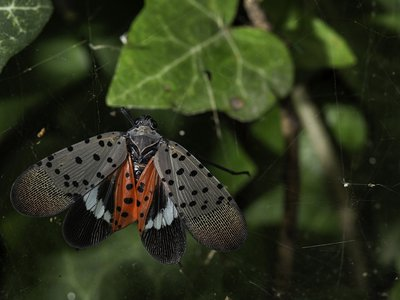 The colorful critter features fabulously patterned wings, though it rarely uses them. Instead, the bug hops from plant to plant to devour vegetation.