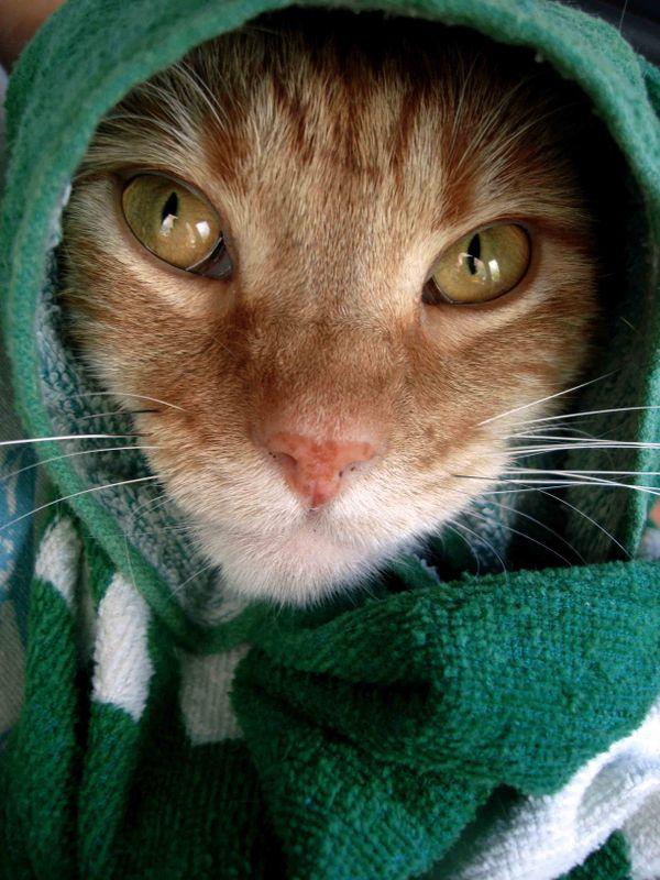 Cat after a bath thumbnail